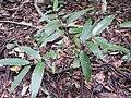Nothopegia travancorica-3-chemungi hill-kerala-India.jpg