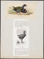 Notornis mantellii - 1700-1880 - Print - Iconographia Zoologica - Special Collections University of Amsterdam - UBA01 IZ17500185.tif