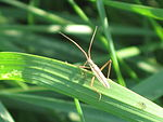Notostira elongata (grass bug), Arnhem, the Netherlands.jpg