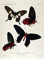 NovaraExpZoologischeTheilLepidopteraAtlasTaf20.jpg