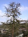 Number 1... the larch - geograph.org.uk - 95262.jpg