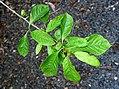 Nyssa sylvatica in Auckland Botanic Gardens 03.jpg