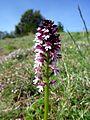 ORCHIS USTULATA - VILACIRERES - IB-452 (Orquídia maculada).JPG