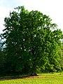 Oak - panoramio (2).jpg