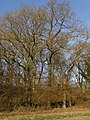 Oak trees, Knighton Wood - geograph.org.uk - 672972.jpg