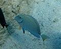 Ocean Surgeonfish (Acanthurus bahianus).jpg
