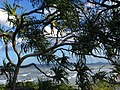 Ocean waves viewed between pandanus palm fronds, Cape Hillsborough National Park, Queensland 03.jpg