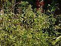 Ocimum ¿ kilimandscharicum ? (6674318727).jpg