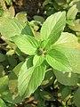Ocimum basilicum Sweet Basil, Common Basil, Thai Basil at Wayanad 2019 (2).jpg