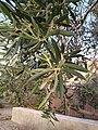Olea europaea leaves.jpg