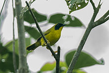 Olive-crowned Yellowthroat - South Ecuador S4E9098 (22648743247).jpg