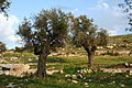 Olive trees - panoramio (1).jpg