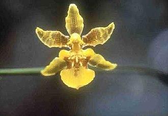 Oncidium - Florida Orchid (Oncidium floridanum)