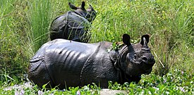 One horn Rhino manish.JPG