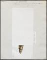 Ophichthys maculosus - - Print - Iconographia Zoologica - Special Collections University of Amsterdam - UBA01 IZ15200116.tif