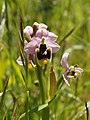 Ophrys neglecta (flowers).jpg