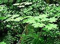 Oplopanax horridus form.jpg