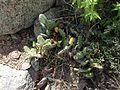 Opuntia sp. (9712353548).jpg