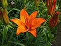 Orange Lilies (Lilium bulbiferum), Omagh - geograph.org.uk - 863482.jpg