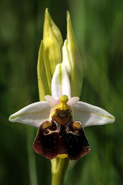 File:OrchidéBeaune1.jpg