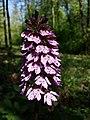 Orchis purpurea sl33.jpg