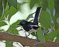 Oriental Magpie-robin (Copsychus saularis) (21646723201).jpg
