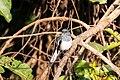 Oriental Magpie Robin (Female) (48847479062).jpg