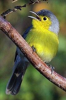 Oriente warbler species of bird