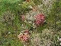 Orobanche alba inflorescence (34).jpg