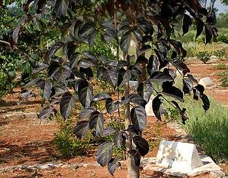 Oroxylum indicum - Image: Oroxylum indicum W IMG 3169