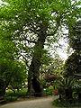 OrtoBotPadova Platanus orientalis 1.jpg