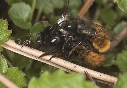 Mating Osmia cornuta