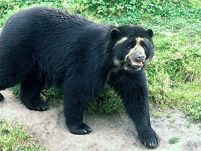 Ecuador is one of the most megadiverse countries in the world, it also has the most biodiversity per square kilometer of any nation, and is one of the highest endemism worldwide. In the image the Spectacled bear of the Andes. Oso andino Porcon.jpg