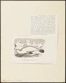 Otaria leonina - 1700-1880 - Print - Iconographia Zoologica - Special Collections University of Amsterdam - UBA01 IZ21100045.tif