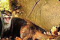 Otter - Banham Zoo (22121769379).jpg