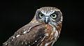 Owls @ Dragonheart, Enschede (9546841523).jpg