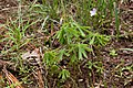Oxalis decaphylla.jpg