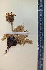 Oxytropis urumovii Jav. ex Urumov.JPG