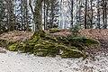 Pörtschach Halbinselpromenade Park bemooster Buchen-Wurzelstock 11022018 2652.jpg