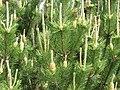 Pētera Upīša ceriņu dārzs, Parūķis, Krimūnu pagasts, Dobeles novads, Latvia - panoramio (3).jpg