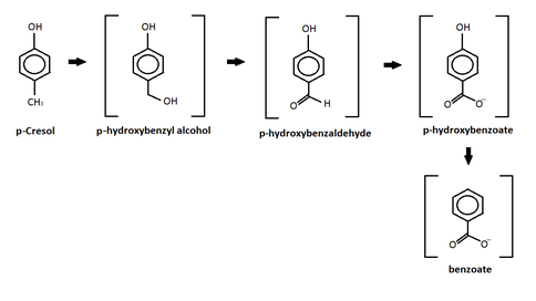 P-cresol degradation to benzoate.png