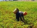 Pa-Oo woman harvesting chillies (Myanmar 2013) (11820686096).jpg