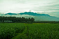 Paddy fields and mountains of Munnar Kerala India.jpg
