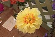 Paeonia 'Bartzella' 1.jpg