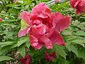 Paeonia suffruticosa 'Taiyo'.jpg
