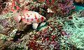 Paeony Bullseye (Priacanthus blochii) (6100427434).jpg