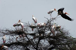 Keoladeo National Park - Painted stork at Keoladeo National Park