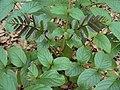 Pajanelia longifolia leaves 1.JPG