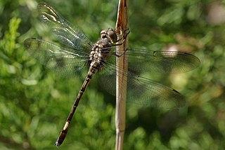 <i>Brechmorhoga</i> genus of insects