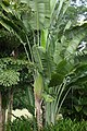 Palma del viajero (Ravenala madagascariensis) (14334192148).jpg